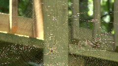 Banana Spiders - Golden Orb-Weaver Stock Footage