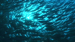 Swarm of Swarm of bigeye Trevally or Jackfish schooling in a swirl, doughnut or  - stock footage