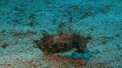 Flamboyant cuttlefish is swimming over sandy coral ground  Stock Footage