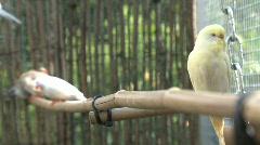 Yellow parakeet Stock Footage