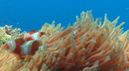 Stock Video Footage of Anemone with a pair of clownfish brushing against the tentacles