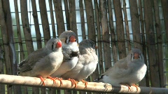Zebra finches Stock Footage