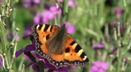 Small tortoiseshell butterfly  aglais urticae  H710002 025523 Stock Footage