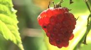 Raspberries fruit Stock Footage