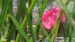 Pink Water lilies Stock Footage