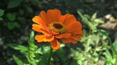 Gerbera Daisies flower Stock Footage