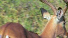 African Deer Stock Footage