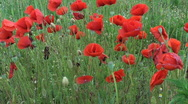 Field of poppy flower,red nature summer ,close-up Stock Footage