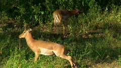 African Deer Stretching Stock Footage