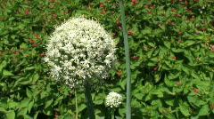 onion flower - stock footage