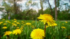 Jogger and dandelions - stock footage