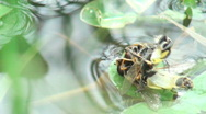 Two wasps hanging together in water Stock Footage