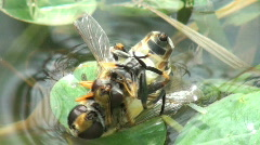two wasps hanging together in water - stock footage