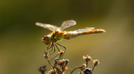 Stock Video Footage of dragonfly on a flower