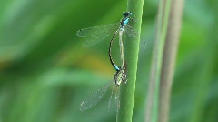Two dragonflies mate - stock footage