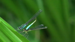two blue dragonflies gather1 - stock footage