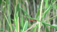 A red dragonfly on a dry reed2 Stock Footage