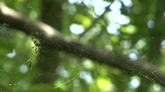Mating Pair Of Banana Spiders - Golden Orb-Weaver Stock Footage