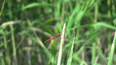 a red dragonfly on a dry reed1 - stock footage
