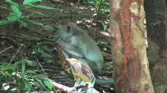 Monkey liking a chips bag - stock footage