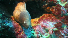 Yellow and black moray in a tropical coral reef Stock Footage