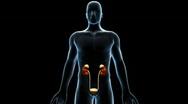 Urinary System, 360 Degree Rotation Stock Footage