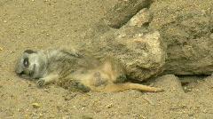 Suricata suricatta Stock Footage
