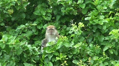 Monkey sitting in the trees Stock Footage