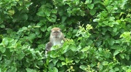 Stock Video Footage of Monkey sitting in the trees