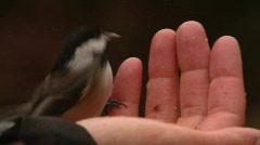 Hungry Chickadees Take Turns Stock Footage