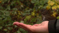 Thrush Feeds From A Hand Stock Footage