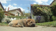 Stock Video Footage of Dog