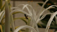 Stock Video Footage of Bees on Indian Lilly Flower