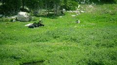 T203 wild bull moose western america west Stock Footage