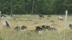 Flock of sheep eating green grass during summer on the island of Gotland Stock Footage