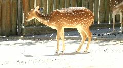 Bambi Tender Look Stock Footage