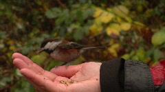 Chickadees Cautiously Take Seeds Stock Footage