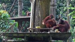 Orangutan family dinner Stock Footage