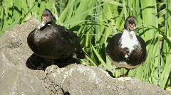 Muscovy Ducks Stock Footage