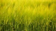 Stock Video Footage of Barley