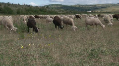 Grazing sheep in the Cevennes  Stock Footage
