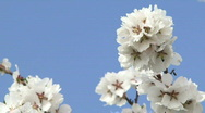 Branch of a flowering tree Stock Footage