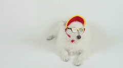Cool Fashion Dog Stock Footage