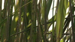 Reed stem Stock Footage