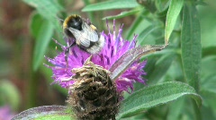Bee Pollinating on a Thistle Stock Footage
