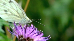 Small White (Cabbage White) Butterly Pollinating Stock Footage