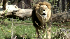 Roaring lion - stock footage