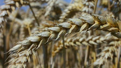 Close up of an ear of wheat on a farm in Northamptonshire England - stock footage