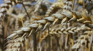 Close up of an ear of wheat on a farm in Northamptonshire England Stock Footage