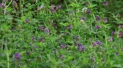 Lucerne flowering - alfalfa - luzerne - medicago stiva medium H710003 031620M Stock Footage
